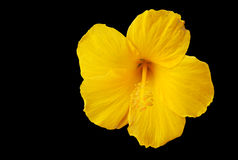 Golden hibiscus Stock Photos