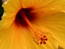 Golden Hibiscus with Crimson Center royalty free stock photography