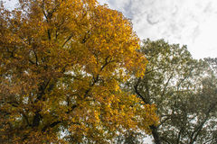 Golden Hickory Tree in Fall. Vibrant gold Hickory tree in autumn Stock Photos