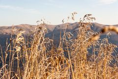 Golden high grass on top of the mountain. Other mountain peak in the background.  royalty free stock image