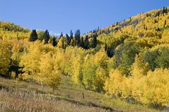 Golden Hills. Autumn aspen on the Grand Mesa Stock Image