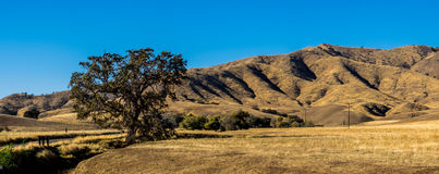Golden hills with oak trees Royalty Free Stock Photography