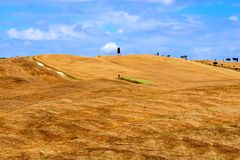 Golden hills of Tuscany. With single cypress tree Royalty Free Stock Images