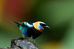 Golden Hooded Tanager Royalty Free Stock Photo