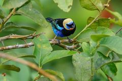 A Golden-hooded Tanager in the Arenal National Park royalty free stock photography