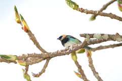 Golden-Hooded Tanager Stock Photography