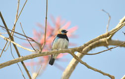 Golden-Hooded Tanager Royalty Free Stock Photos