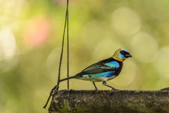 Golden Hooded Tanager Stock Image