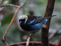 Golden Hooded Tanager Royalty Free Stock Image