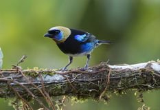 Golden-hooded Tanager Stock Photos