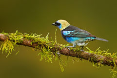 Golden-hooded Tanager, Tangara larvata, exotic tropic blue bird with gold head from Costa Rica. Tanager sitting on the branch. Gre Royalty Free Stock Photography