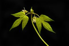 Golden hop against black. Golden hop leaves and flowers isolated against black royalty free stock photos