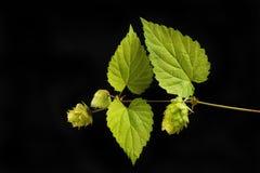 Golden hop against black. Golden hop, leaves and hops isolated against black royalty free stock image