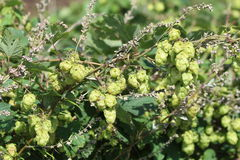 Golden  Hop  - Humulus lupulus. Humulus lupulus. The hop plant used to make and flavour beer and used for herbal medicine it also has antibacterial properties Royalty Free Stock Photos