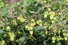 Golden  Hop  - Humulus lupulus. Royalty Free Stock Photos