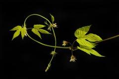 Golden hop vine against black. Golden hop vine, leaves and flowers isolated against black Stock Image