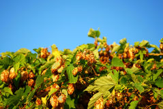 Golden Hops Royalty Free Stock Images