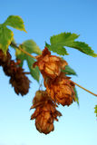 Golden hops Royalty Free Stock Photos