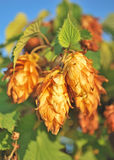 Golden hops. Stock Images