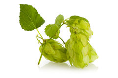 Golden hops on white Stock Images