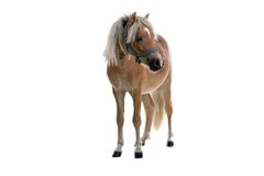 Golden horse Stock Photos