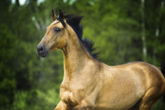 Golden horse akhal-teke portrait in motion in summer Royalty Free Stock Image