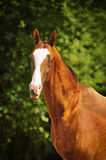 The golden horse akhal-teke portrait in summer. Golden horse akhal-teke portrait in summer Royalty Free Stock Images