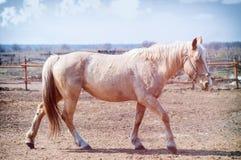Golden horse. On the farm Royalty Free Stock Photos