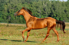 Golden horse on freedom Royalty Free Stock Image
