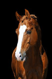 Golden horse isolated on black. Portrait of chestnut Trakehner horse on the black Royalty Free Stock Images