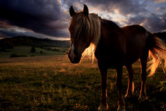 Golden horse landscape Royalty Free Stock Photography