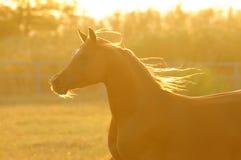 Golden horse in sunset, runs gallop royalty free stock photos