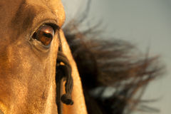 Golden horse of Turkmenistan Stock Photography