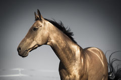 Golden horse of Turkmenistan Royalty Free Stock Photo