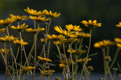 The Golden Hour. A beautiful morning looing at the daisies stock image