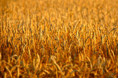 Golden Hour Closeup of Rye Field Stock Image