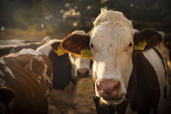 Golden hour cow portrait. Evening trip for some milk, I didn`t get just some milk for making homemade mozzarella cheese, but some portraits as well Stock Photos