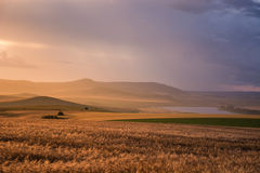 Golden hour over wheat fields after a stormy day royalty free stock images