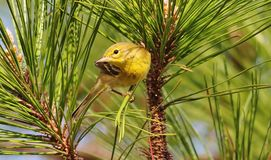 Golden Hour Pine Warbler Stock Photo