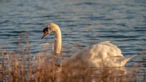 Golden hour Swan Stock Image