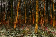 Golden hour through trees in Whitwell wood. On a cold winters day Stock Photo