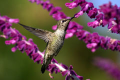 Golden Hummer Stock Photos