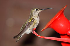 Golden Hummingbird. This is a gold hummingbird outside my feeder Royalty Free Stock Images
