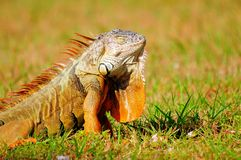 Golden iguana, sleeping beauty Stock Image