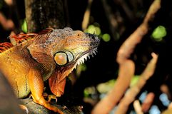 Golden iguana on tree branch Stock Images