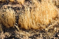 Golden illuminated grass in semi-desert Royalty Free Stock Images