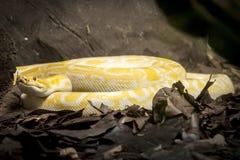 Golden Indian Python Stock Photo