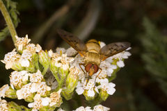 Golden Insect. A golden insect stops to taste some yarrow nectar royalty free stock photo