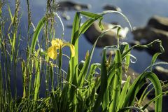Golden iris, early morning, Wild flower. Summer lake, pond, dawn, first rays of sun. Seasons, ecology, beauty of wild Royalty Free Stock Photos