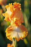 Golden Iris at Sunset Stock Photo